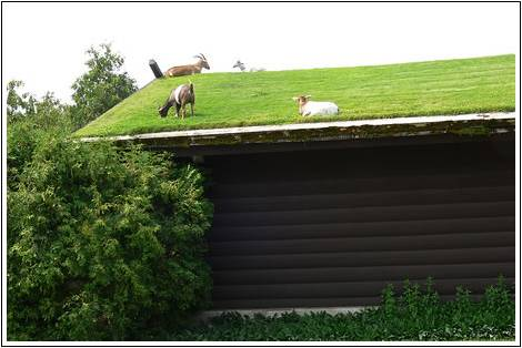 a green roof primer goat optional winter street feeding goats